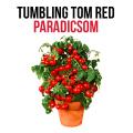 Tumbling tom red paradicsom növényem fa kaspóban